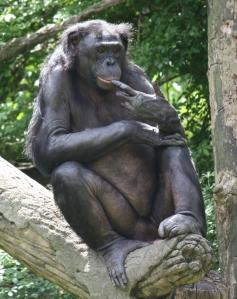 Bonobo_0155