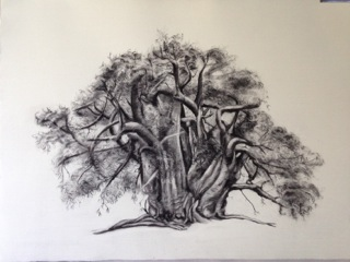 baobab-1-48-x-66cm-charcoal-on-fabriano-roma-2014